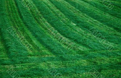 Freshly Mowed Hay