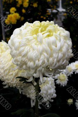 Chrysanthemum (Polar Gem)