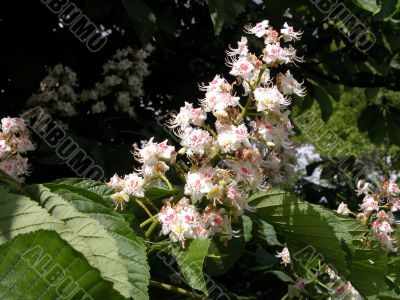 Flowers of Horse Chestnut (Aesculus)