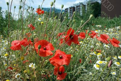 Wild poppy in a residential area in Vienna.