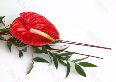Red Anthurium flower,flamingo flower