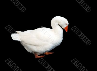White Goose Isolated on Black