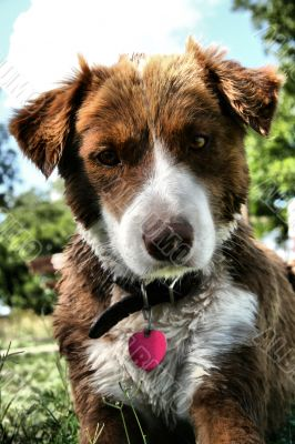 Australian Collie Dog