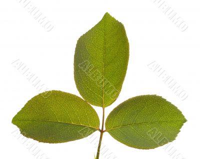 Leaves Macro Isolated