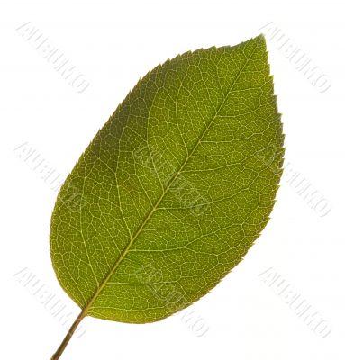 Leaf Macro Isolated