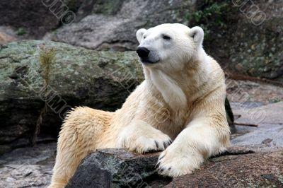 Beautiful Polar Bear
