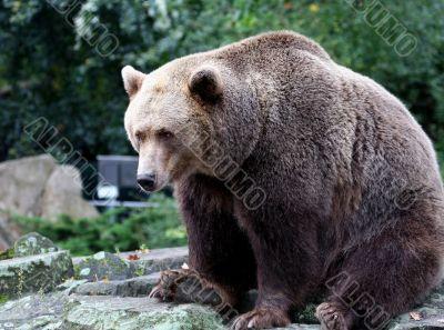 Brown Bear Canada