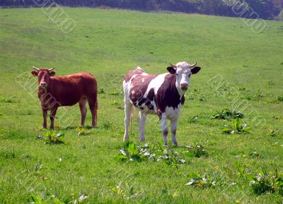 Portrait of cows in countryside