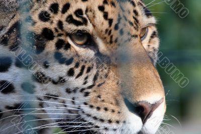 Sad Cheetah in cage