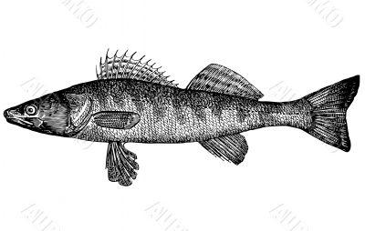 Fish Pike perch Lucioperca lucioperca Illustration