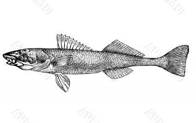 Fish Aspro zingel latin Illustration.