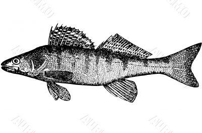 Fish Bersh Lucioperca volgenis Illustration