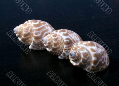 three sea-shells