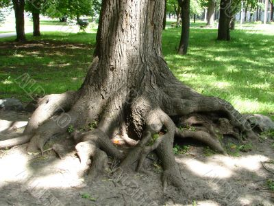 Chaos of old textured tree roots