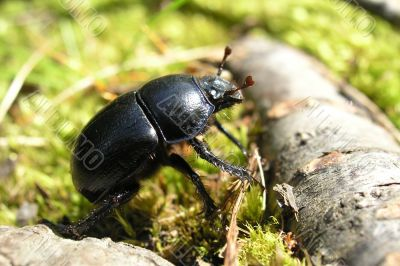 a going beetle
