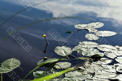 In leaves. One lily on the water.