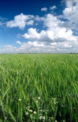 Rye green field vertical