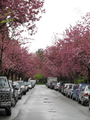 cherry trees on the sides of the street