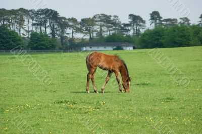 Young Foal on the grasses