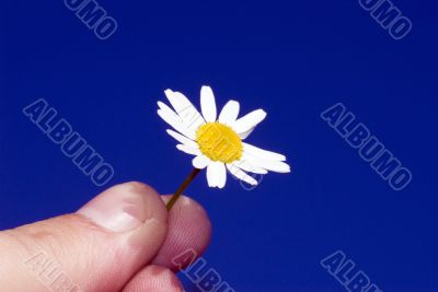 Chamomile in the hand at the sky background