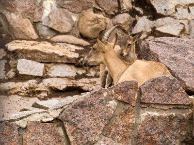 East Caucasian Ibex (Capra cylindricornis)