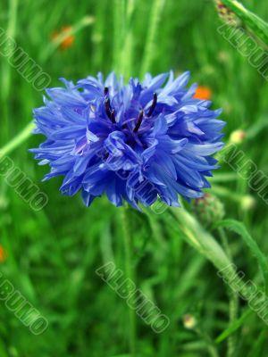 Field flower - a cornflower