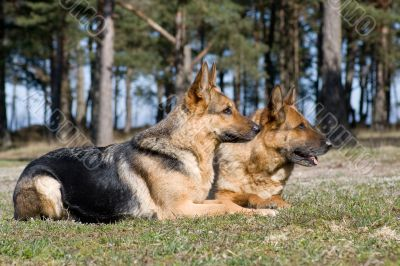 two Germany Sheep-dogs laying on the grass