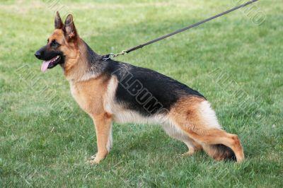 Structure of the German shepherd