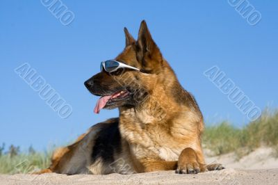 Sheep-dog laying on a sand beach with solar glasses