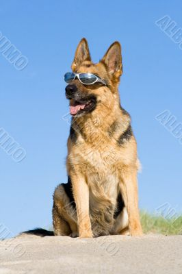 Sheep-dog sitting on a sand beach with solar glasses