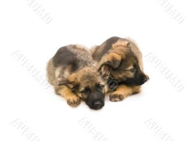 two sweet Germany sheep-dog puppies isolated on white background