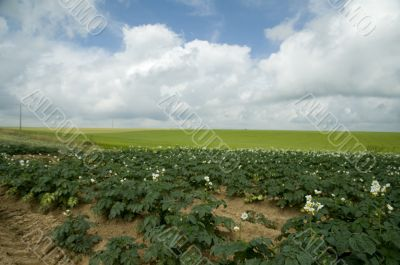 agriculture with potatoes
