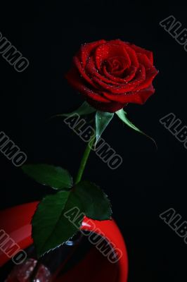 Rose with dew in vase