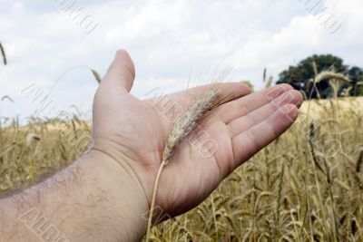 cereal on the hand, background cereal field