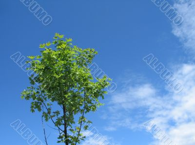 small green tree in the blue sky