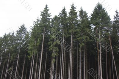spruce forrest