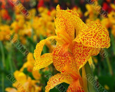 Juicy flower