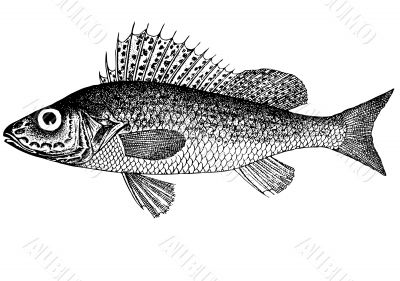 Fish Ruff Acerina cernua latin Illustration