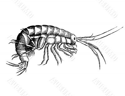 Fine cancer from sort Gammarus Illustration