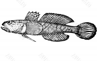 Fish Gobius gumnotrachelus latin Illustration.