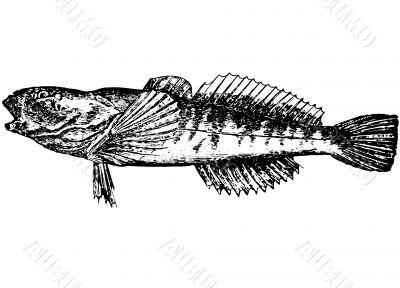 Fish Gobius. Gottus gobio latin Illustration
