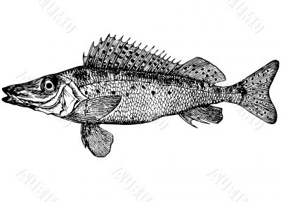Fish Ruff Acerina acerina latin Illustration