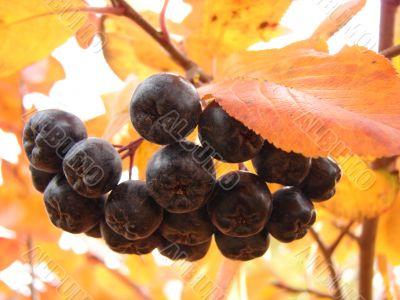 Petunia berry