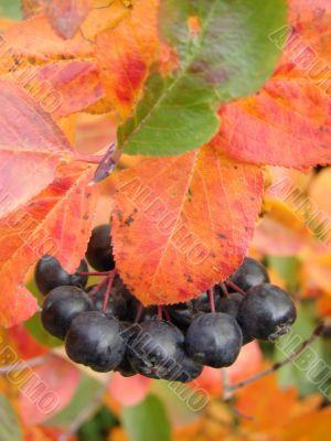 Petunia siberian berry