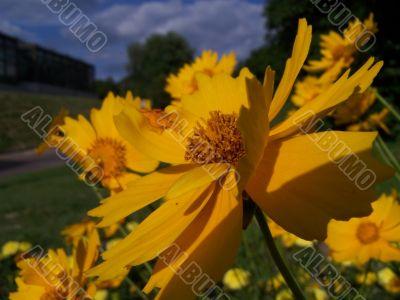 Sunny marigold