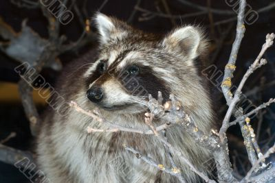 Wild Raccoon