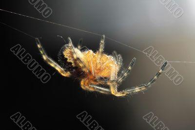 a walking spider