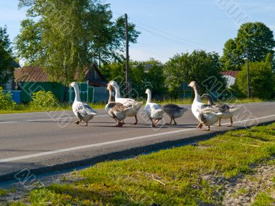 Gooses crossing a road