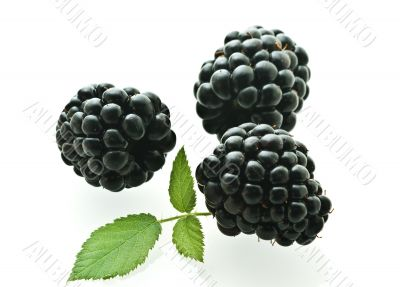 three ripe fresh blackberries