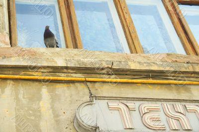 Pigeon on ledge